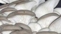İstiridye Mantarı Yüksek Protein Değeri İle Çok Kıymetlidir.